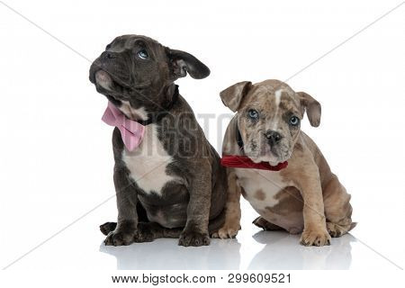 Guilty Amstaff puppies felling bad and looking around while wearing bow ties and sittiong on white studio background