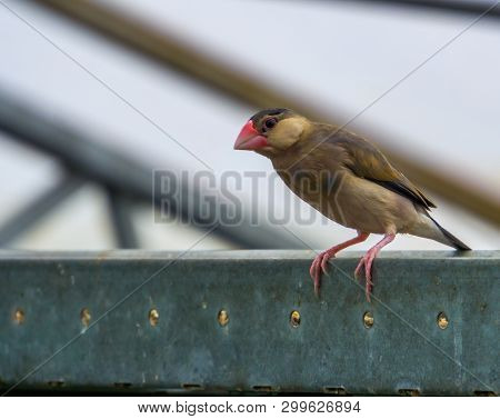 Java Rice Sparrow Sitting On A Metal Beam In The Aviary, Popular Tropical Pet, Endangered Bird From