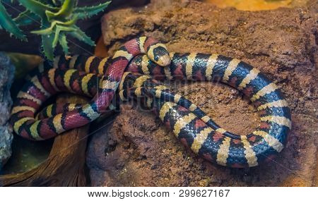 poster of Arizona mountain king snake in closeup, vibrant colored tropical serpent from America, popular pet in herpetoculture