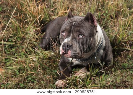 Guilty Amstaff dog staring upwards with puppy eyes and its mouth closed while resting, layed down on outdoor background