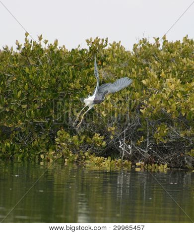 A Blue Heron takes off from its perch in a Mexican mangrove