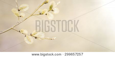 Wide Angle Spring nature background with pussy willow branches. Blossoming Willow branches close up in the sunlight. Beautiful Soft Wallpaper or Web banner With Copy Space for text poster