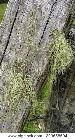 Close Up View Of The Epiphytic Spanish Moss Hanging Down From A Decaying Half Fallen Wooden Fence Po