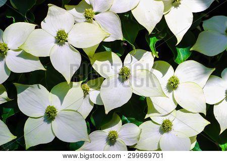 White Pseudoflowers An Green Flowers Of The Chinese Dogwood, Asian Dogwood, Cornus Kousa