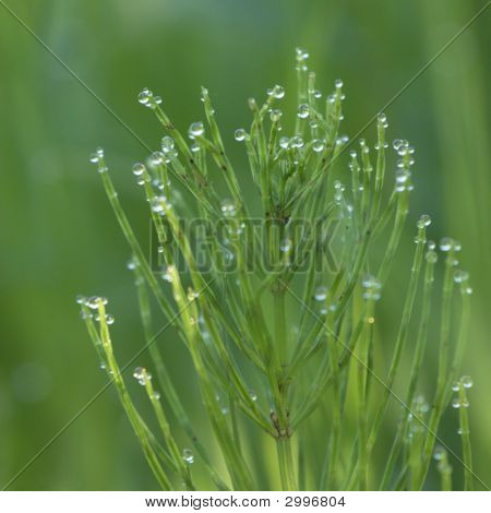 Field Horsetail In Dew