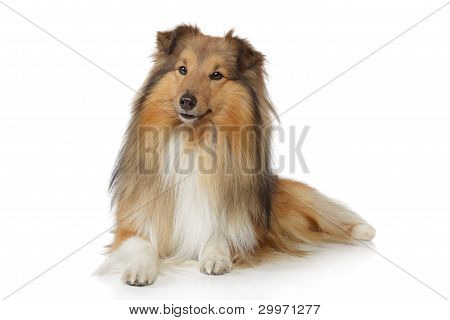 Shetland sheepdog. Sheltie lying on a white background poster
