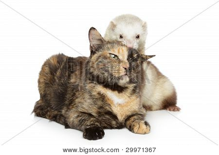 Tortoise-colored cat and ferret plays on a white background poster