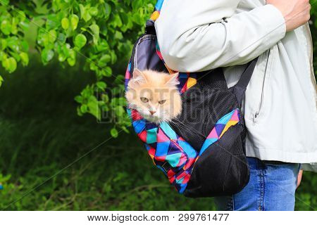 Funny Red Cat Looks Out Of A Backpack In The Colors Of The Rainbow On The Back Of A Lgbt Man, Spring