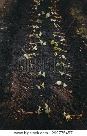 Young Strawberry Seedlings Planted In Ground In Spring Garden