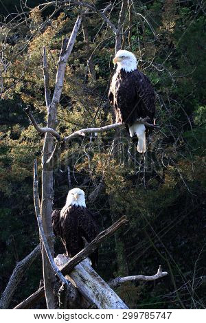 Like All Birds Of Prey, Eagles Have Very Large, Hooked Beaks For Ripping Flesh From Their Prey, Stro