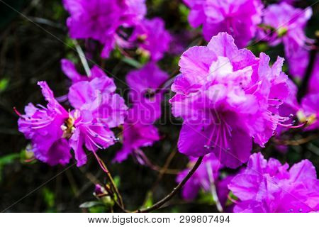 Kurume Azalea Blue Danube. Rhododendron Malvaticum X Rhododendron Kaempferi In Garden.