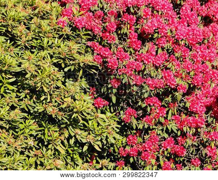 Rhododendron Hedge / A Hedge Of Red Rhododendrons Flowered And Still To Bloom