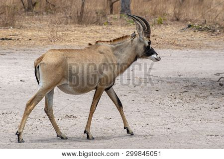 Roan Antelope, Hippotragus Equinus, Savanna Antelope Found In West, Central,  East And Southern Afri