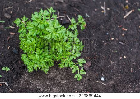 Young Parsley In The Garden. Parsley Leaves. Parsley Grows In The Ground.