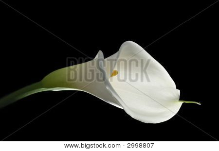 Elegant White Calla Lilly