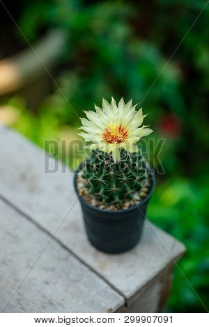 Close Up Yellow Flower Of Hamatocactus Cactus In Pot.