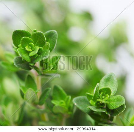 Fresh thyme, close-up