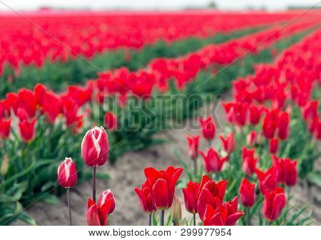 Some White Flamed Red Tulips In Front Of Many Uniform Bright Red Tulip Flowers In Converging Rows.