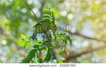 Birds That Are Green In Nature Megalaima Faiostricta