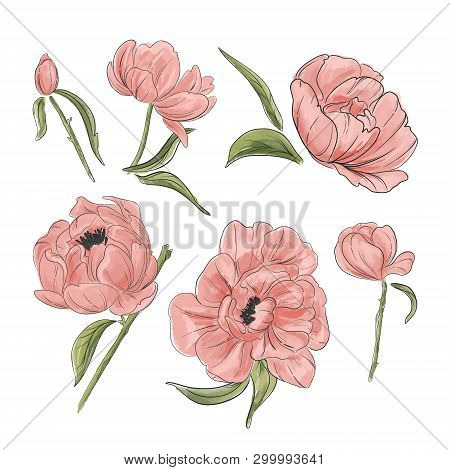 Tender Pink Peony Decoration. Hand-drawn Garden Flowers Clipart Good For Wedding Invitations, Clipar