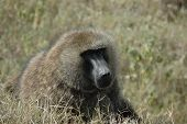 close up of a baboon lying on the grass glaring pass the camera. poster