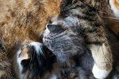 A feral cat feeds the kittens. Little two-week kittens suck milk poster