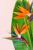 Summer flat lay top view scenery with tropical strelizia flower and leaves on pink background close up poster