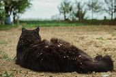 Rear view - Close up portrait of cat (Chantilly Tiffany) laying on the ground (soil) at the garden and looking ahead. Dark black tomcat resting (relaxing) and observing on the field - from behind. poster