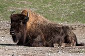 The American bison or simply bison, also commonly known as the American buffalo or simply buffalo, is a North American species of bison that once roamed North America in vast herds. poster