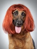 German shepherd dog in a wig on grey background (funny series) poster