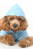 Brown toy poodle with classic grooming in a blue sweater poster