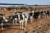 Dairy cows in large feed lot Central California poster