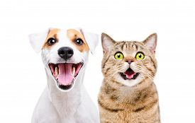 Portrait Of Cute Dog Jack Russell Terrier And Cheerful Cat Scottish Straight Isolated On White Backg