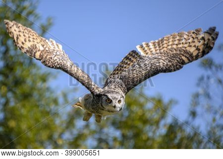 Beautiful Horned Owl Flying. Blue Sky And Tree Branches In The Background. This Grey And Yellow Bird