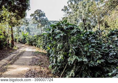 Coffee Tree With Fresh Arabica Coffee Bean In Coffee Plantation On The Mountain At Ban Pang Khon The