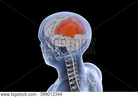 Human Brain With Highlighted Parietal Lobes, 3d Illustration