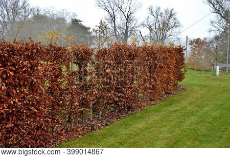 Hedge Of Hornbeam Cut Into A Plane In Autumn When The Leaves Are Dark Brown And Deciduous Until Spri