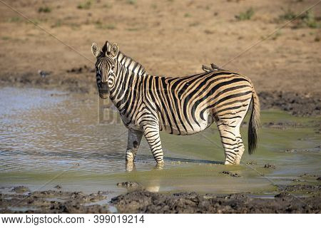 Adult Zebra Standing In Muddy Water Looking Alert In Kruger National Park In South Africa