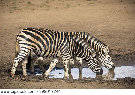 Two Adult Zebras Standing At The Edge Of A Waterhole Drinking Water In Kruger Park In South Africa