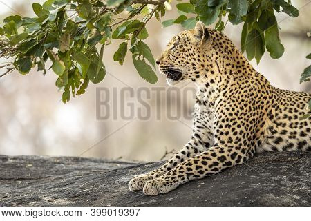Adult Leopard Sitting On A Large Rock Looking Alert In Kruger Park In South Africa