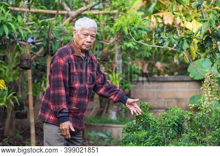 Portrait Of An Elderly Asian Man Looking Chili Tree While Standing In A Garden. Concept Of Aged Peop