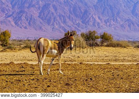 Onager (hemione Or Asiatic Wild Ass), In The Yotvata Hai-bar Nature Reserve, The Arava Desert, South
