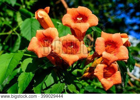 Many Vivid Orange Red Flowers And Green Leaves Of Campsis Radicans Plant, Commonly Known As The Trum