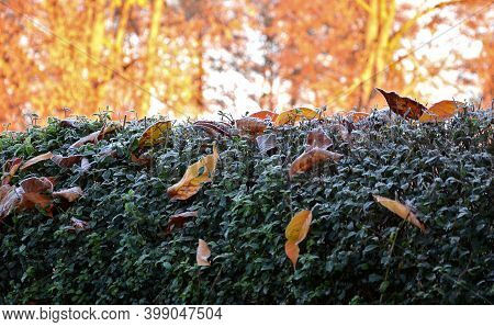 On The Hedge Of The Privet There Are Frozen Fallen Cherry Leaves. Everything Is Frosted And Frozen B