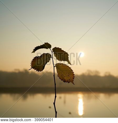 Leaves Of An Young Elm Tree In The Backlight At Sunrise On The River Elbe Near Magdeburg
