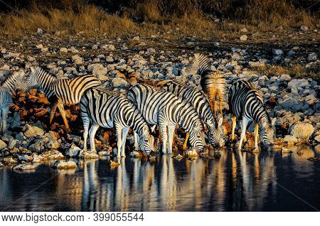 Burchells Zebras Drinking At An Artificially Lit Waterhole In Northern Namibia