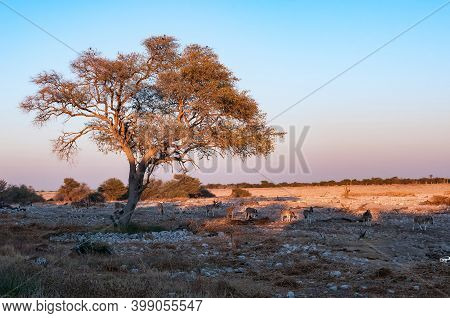Burchells Zebras Walking Past A Large Tree At Sunrise In Northern Namibia