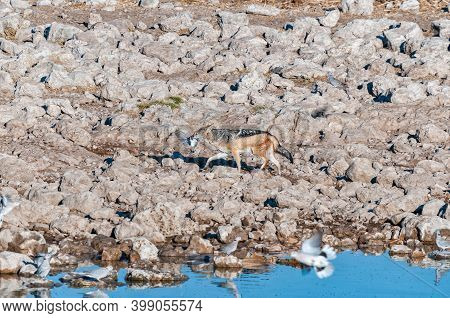 A Black-backed Jackal, Canis Mesomelas, With Its Prey, A Cape Turtle Dove, Streptopelia Capicolas