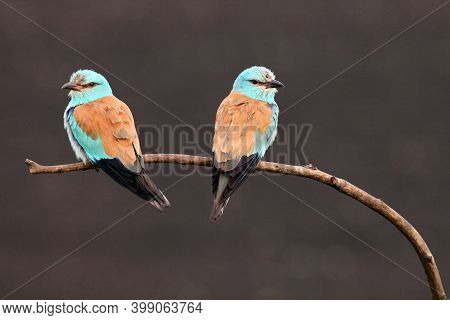 The European Roller (coracias Garrulus) Pair Sitting On A Branch With A Dark Background. A Pair Of L