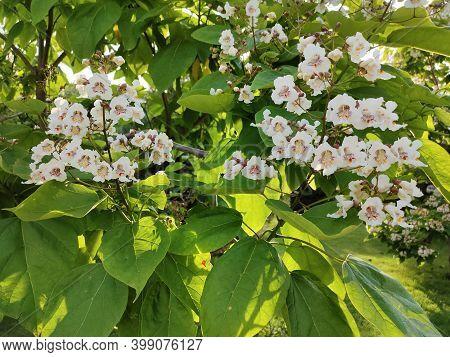 White Flowers Of Southern Catalpa, Catalpa Bignonioides,